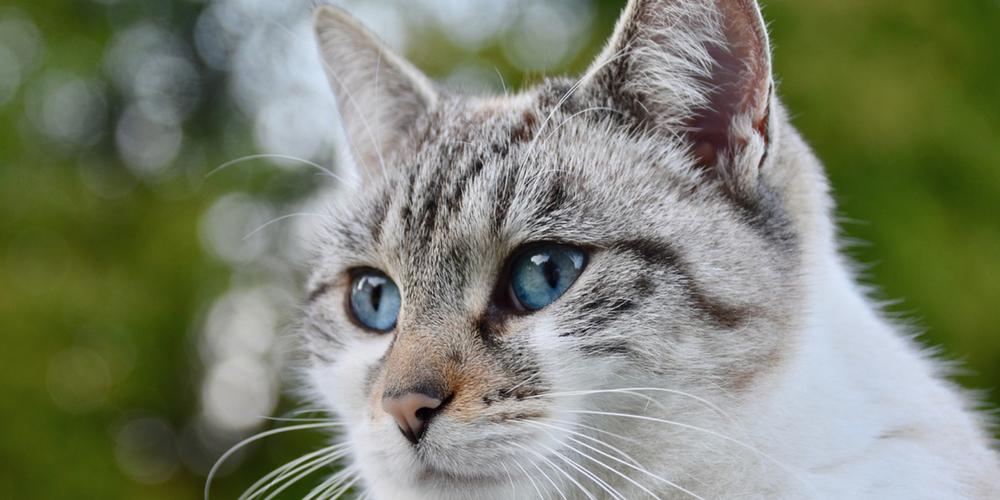 Un chat de la région parisienne a été testé positif au nouveau coronavirus après avoir probablement été infecté par ses propriétaires
